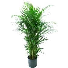 areca palm pour le salon