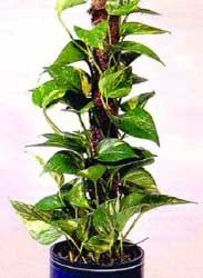 scindapsus-poto-2 pour l espace interieur